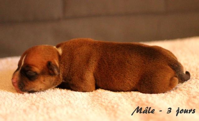 "Chiots Staffordshire Bull Terrier LOF ""Des Anges de Wilhelm"" - 2014 - Page 2 Male_310"
