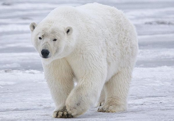 L'OURS Ours_b10