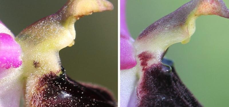 Ophrys bertolonii VS Op romolinii Bertol10