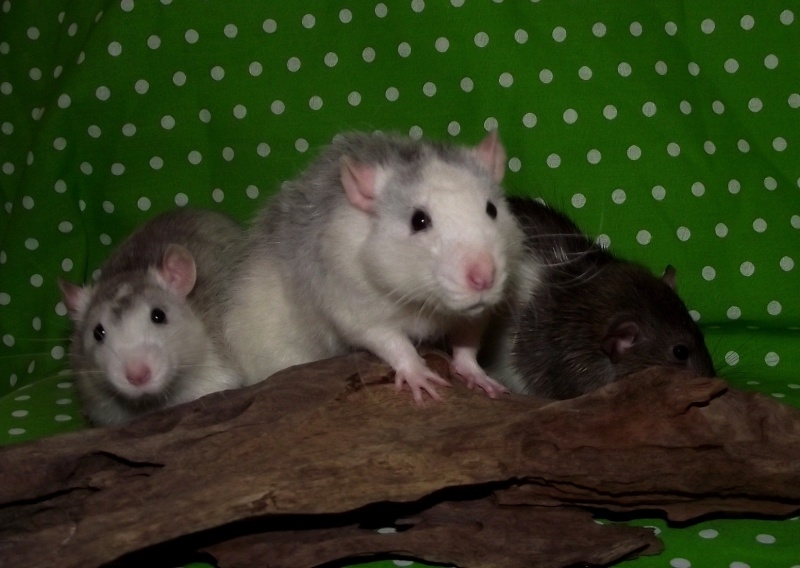 Les ratous de breizhael - 3eme génération - Page 2 Dscf4915