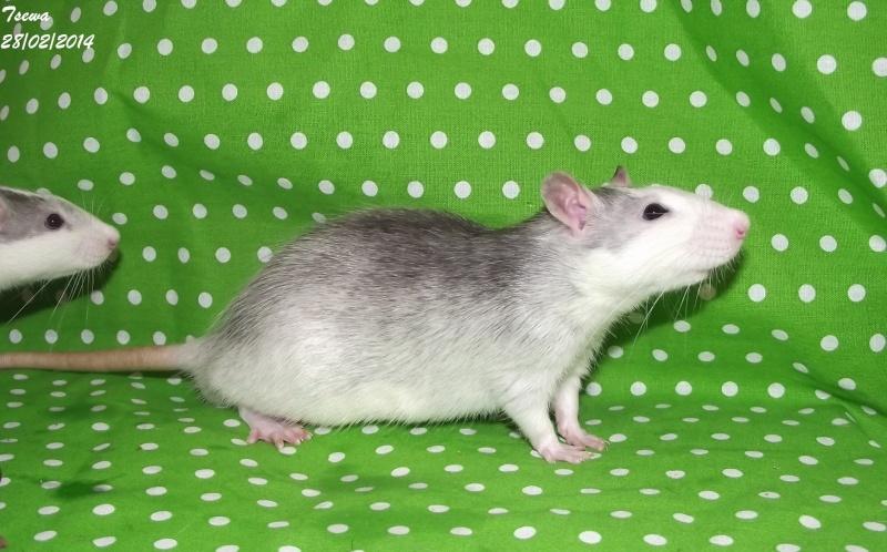Les ratous de breizhael - 3eme génération - Page 2 Dscf4918