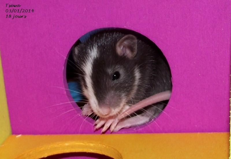 Les ratous de breizhael - 3eme génération - Page 2 Tsewa11