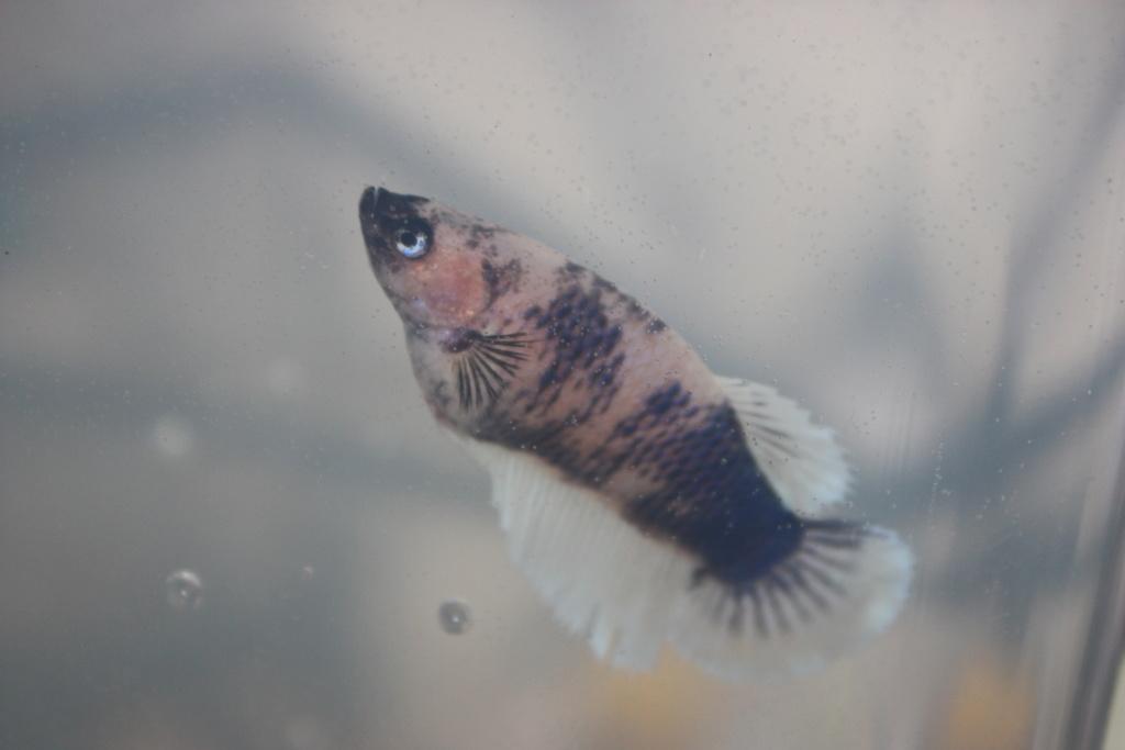 1ere reproduction - la femelle ne pond pas  Hinxxn13