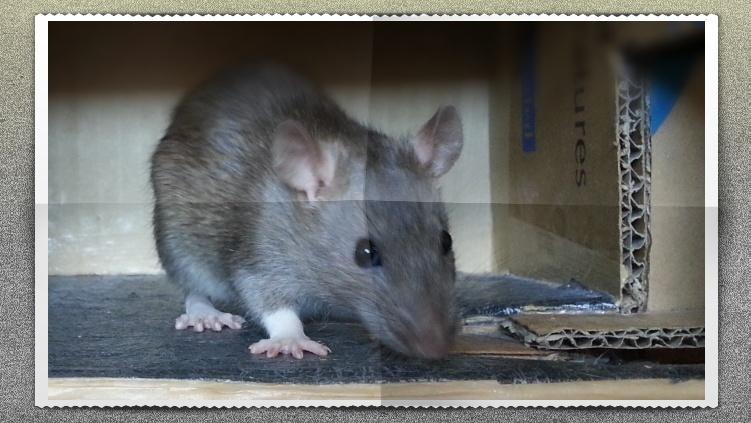 13 petit rats en Bretagne  - Page 3 138510
