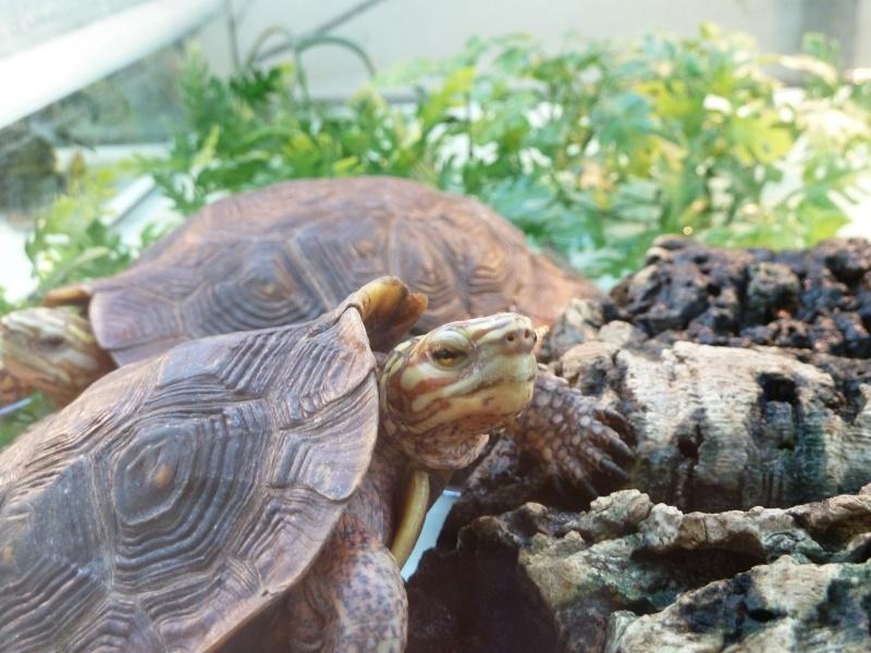Identification de tortue pour le moins peu courante !  P1020010