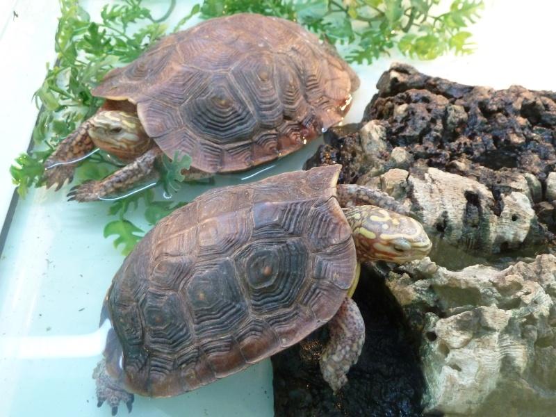 Identification de tortue pour le moins peu courante !  P1020011