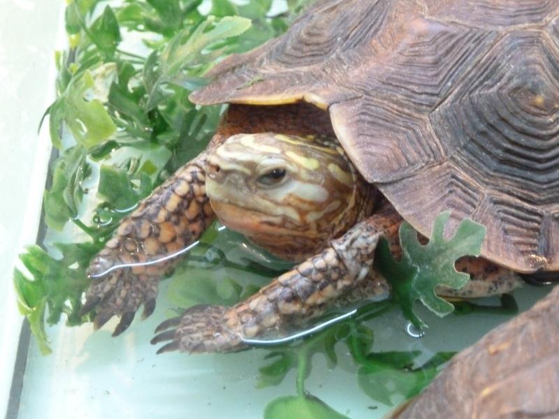 Identification de tortue pour le moins peu courante !  P1020012