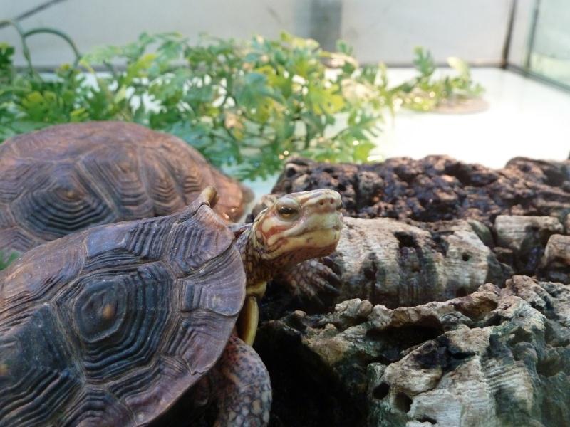 Identification de tortue pour le moins peu courante !  P1020013