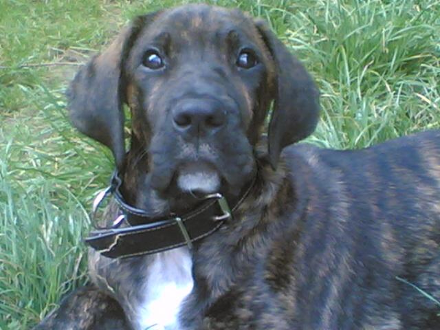 Djack,x Dogue/boxer?,12 mois (Halanzy sous contrat SCBe) - Page 2 09082010