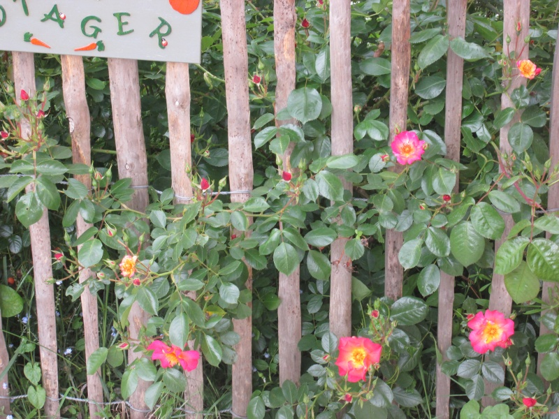 Rosa 'Yann Arthus Bertrand' !!! - Page 2 Arthus10