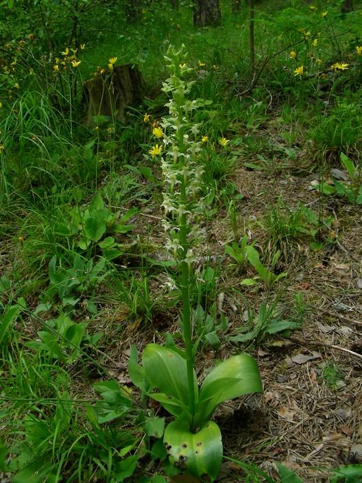 Platanthera bifolia chlorantha hybride ? Hybpla11
