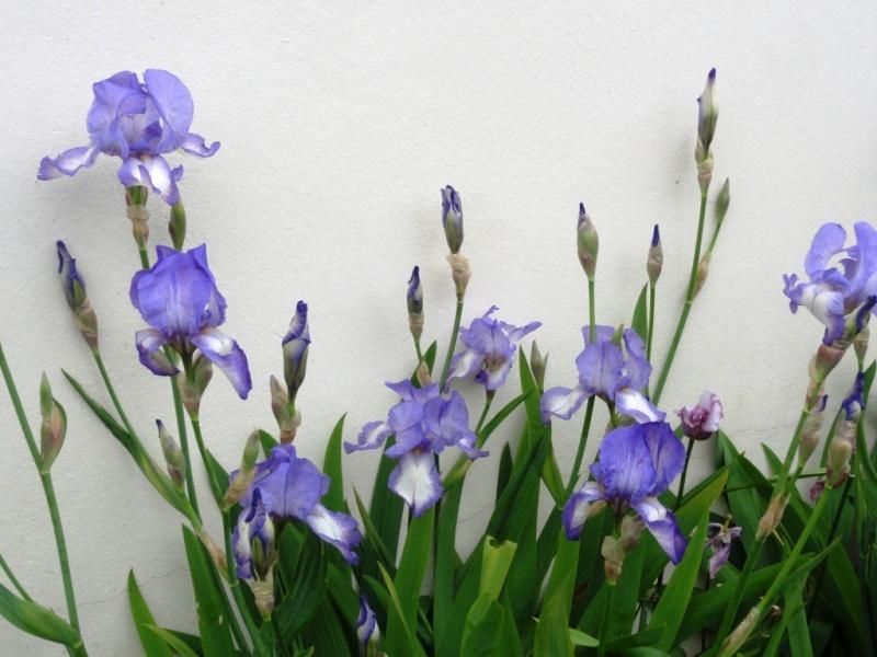 Floraison de nos iris barbus saison 2014 - Page 4 Dsc02411