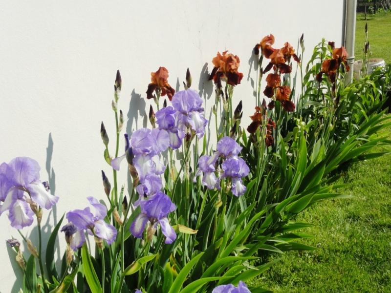 Floraison de nos iris barbus saison 2014 - Page 4 Dsc02412