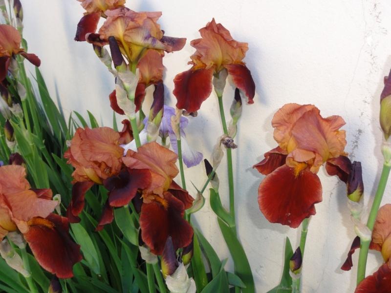 Floraison de nos iris barbus saison 2014 - Page 4 Dsc02413