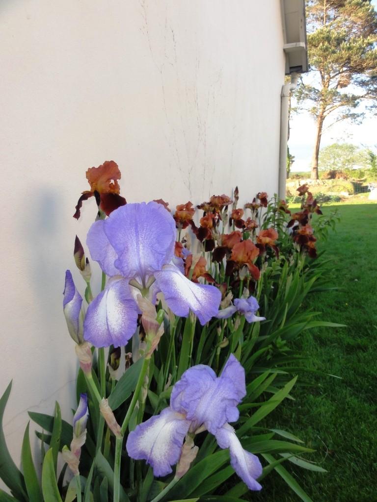 Floraison de nos iris barbus saison 2014 - Page 4 Dsc02414