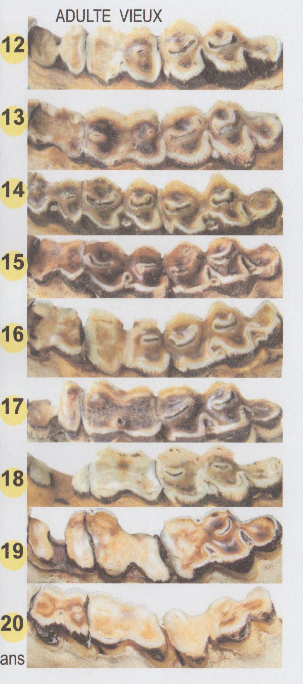 Estimation age cerf Dentio10