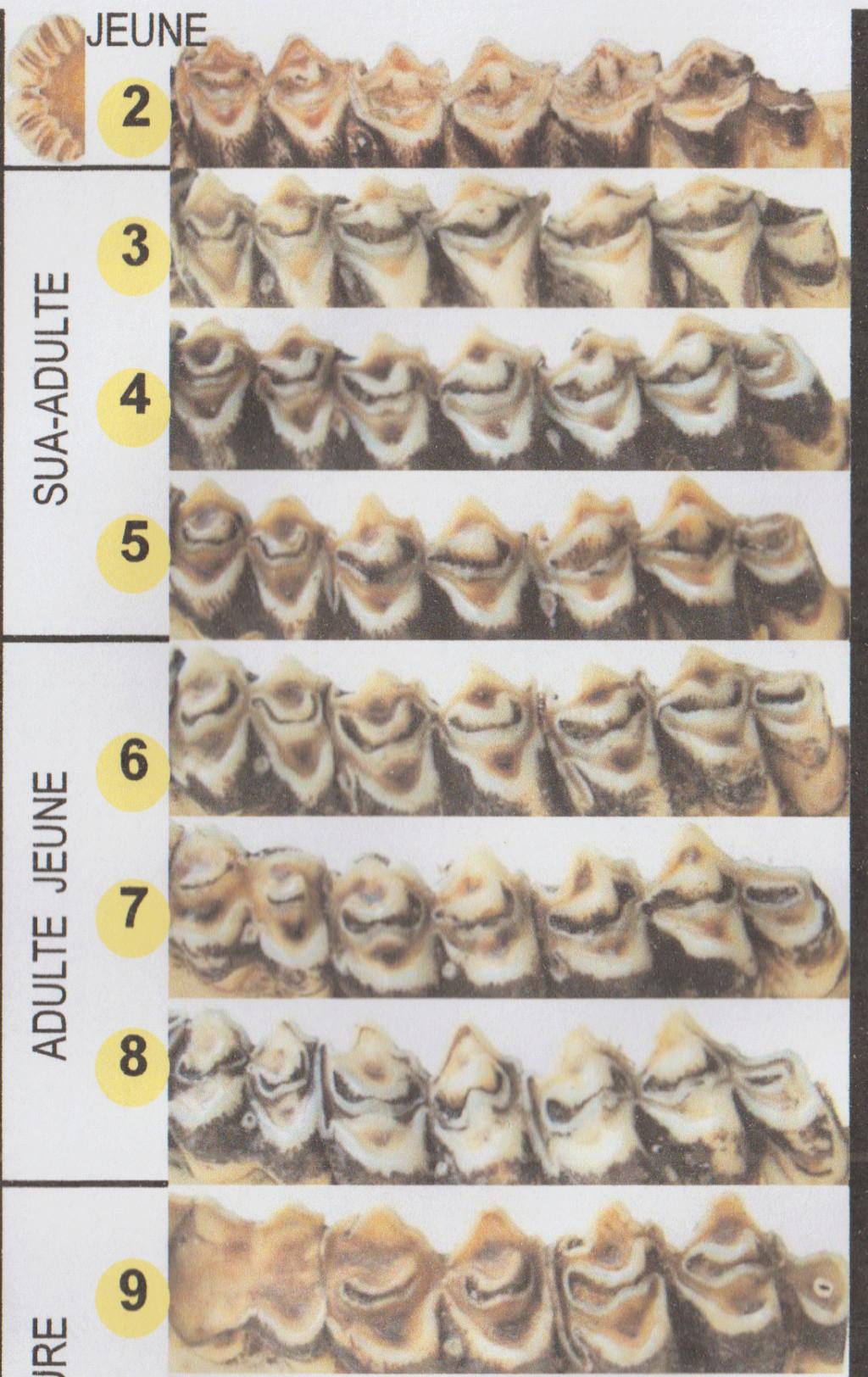 Estimation age cerf Dentit10