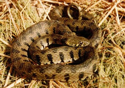 Quel est ce serpent ? Natrix10