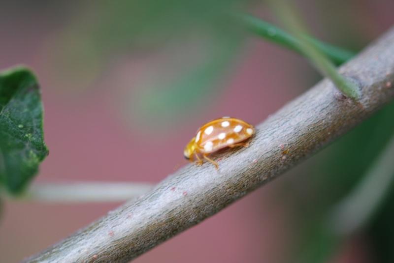 Lieveheersbeestjes Meelda10