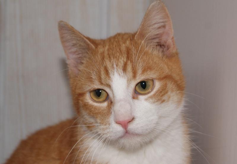 Hemingway, mâle roux et blanc né le 29/07/2012, en don libre Dsc08010