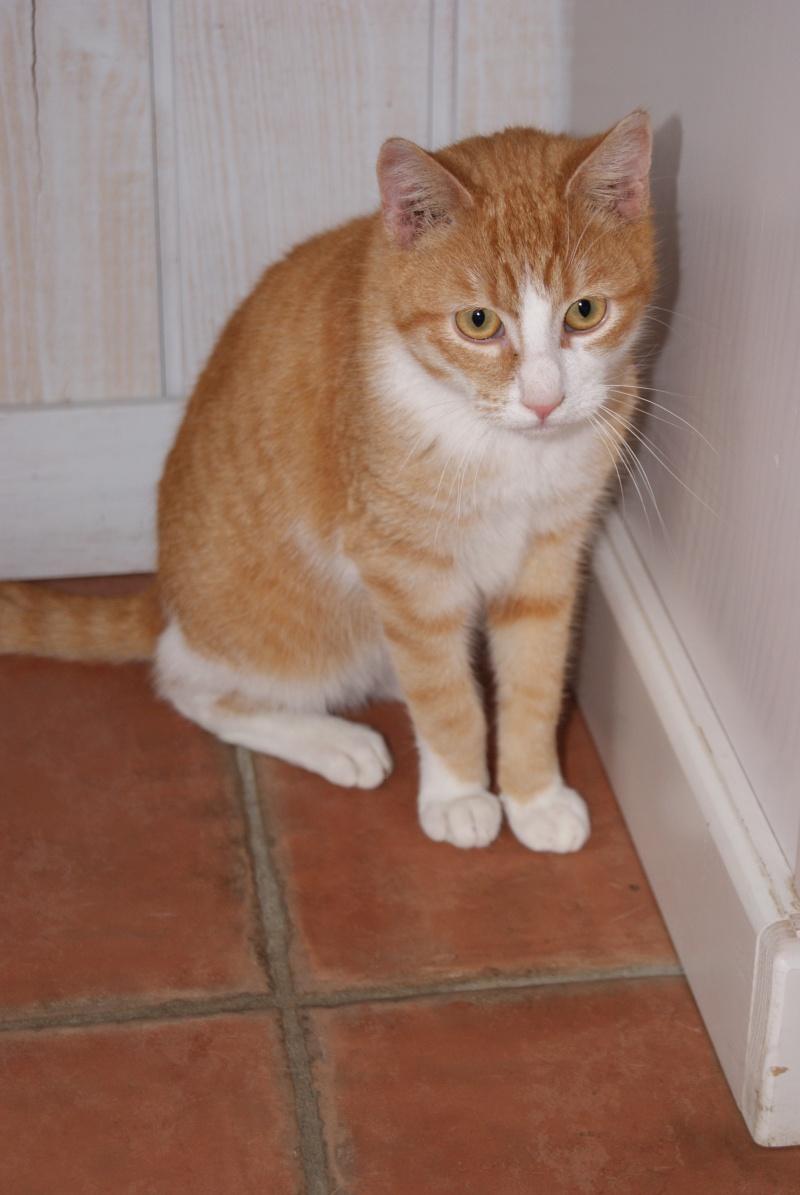 Hemingway, mâle roux et blanc né le 29/07/2012, en don libre Dsc08011