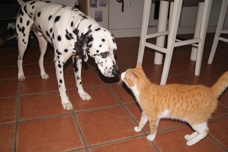 Hemingway, mâle roux et blanc né le 29/07/2012, en don libre Dsc08013