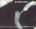 microfossiles divers d'Auvers sur Oise ( suite) Auv-di16