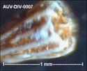 microfossiles divers d'Auvers sur Oise ( suite) Auv-di18