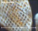 microfossiles divers d'Auvers sur Oise ( suite) Auv-di49