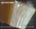 microfossiles divers d'Auvers sur Oise ( suite) Auv-di51