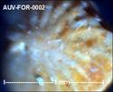 Microfossiles d'Auvers sur Oise Auv-fo11