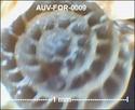 Microfossiles d'Auvers sur Oise Auv-fo18