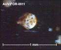Microfossiles d'Auvers sur Oise Auv-fo20