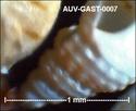 Microfossiles d'Auvers sur Oise Auv-ga19