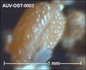 Microfossiles d'Auvers sur Oise Auv-os12