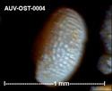 Microfossiles d'Auvers sur Oise Auv-os14