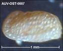 Microfossiles d'Auvers sur Oise Auv-os17