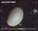Microfossiles d'Auvers sur Oise Auv-os18