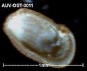 Microfossiles d'Auvers sur Oise Auv-os21