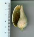 [résolu]Pterynotus crenulatus tricarinatus, Cryptochorda stromboides Chrypt10