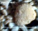 Microfossiles divers de FERCOURT (60) Fer-di25