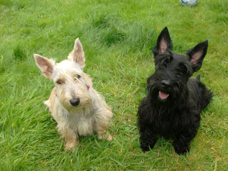 chippie-scottish-terrier