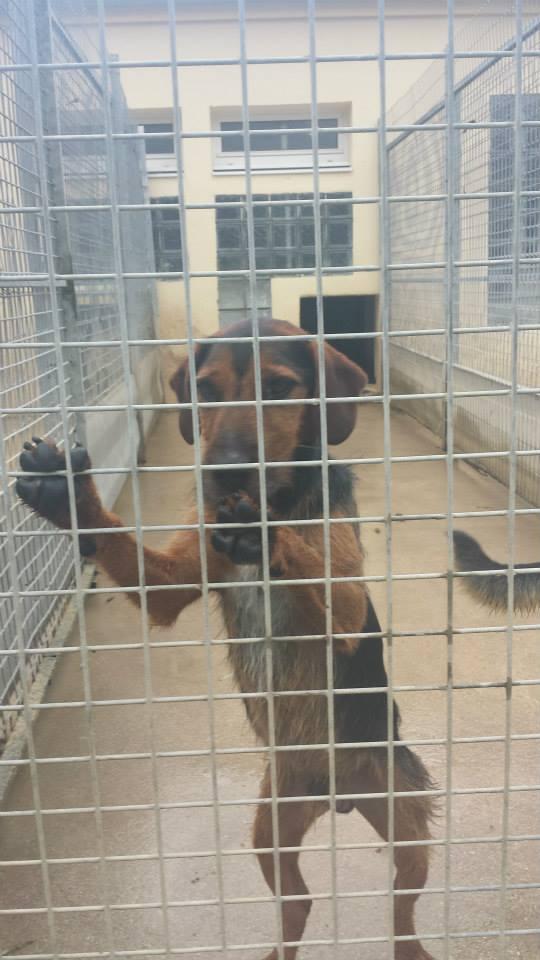 SPIROU - jagd terrier 3 ans - Refuge Spa de Thierville (55)... adopté par shouky33 13920610
