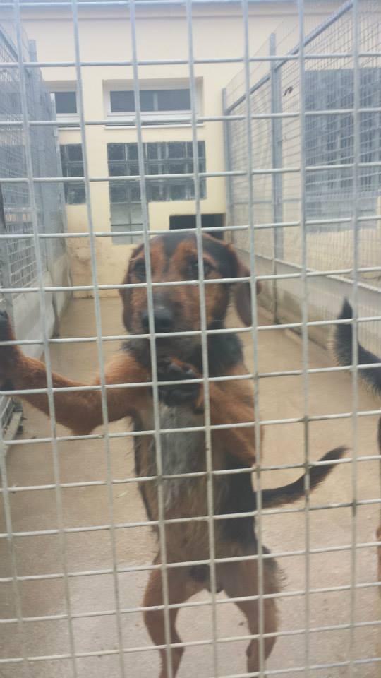 SPIROU - jagd terrier 3 ans - Refuge Spa de Thierville (55)... adopté par shouky33 14618310