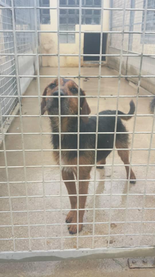 SPIROU - jagd terrier 3 ans - Refuge Spa de Thierville (55)... adopté par shouky33 14672510