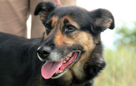 Adoptez moi - RUBI - x berger 7 ans - Refuge de Thierville (55) Rubi310