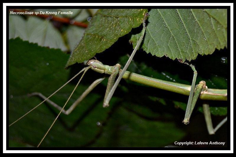 Necrosciinae sp Da Krong (P.S.G n° ???) Necros18