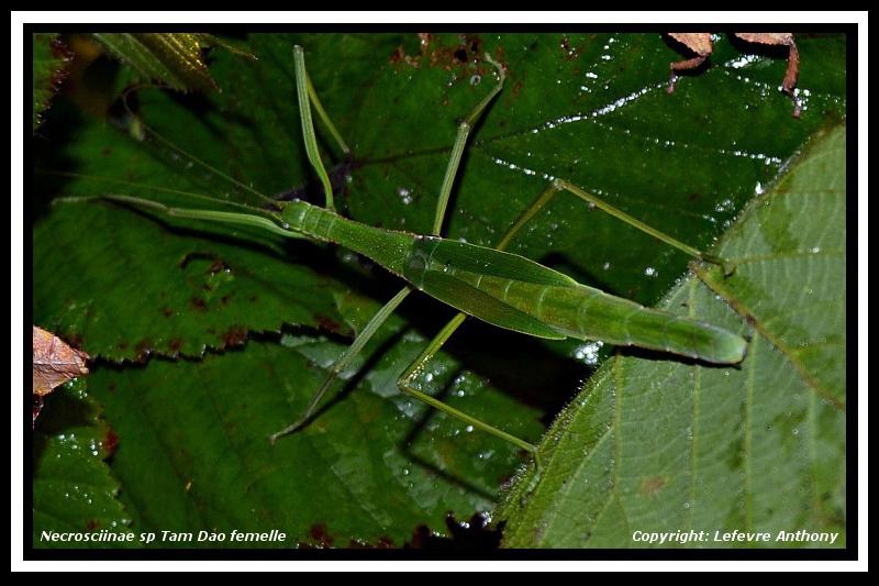 """Necrosciinae sp """"Tam Dao"""" (P.S.G n°???) Necros28"""