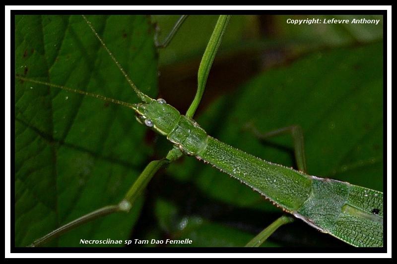 """Necrosciinae sp """"Tam Dao"""" (P.S.G n°???) Necros31"""