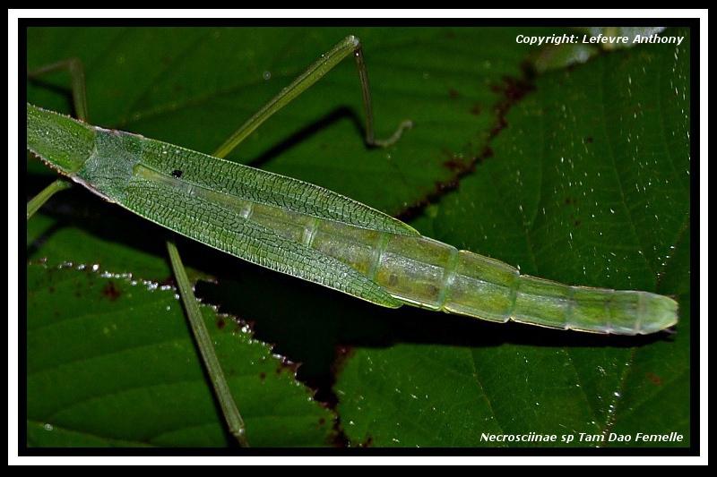 """Necrosciinae sp """"Tam Dao"""" (P.S.G n°???) Necros32"""